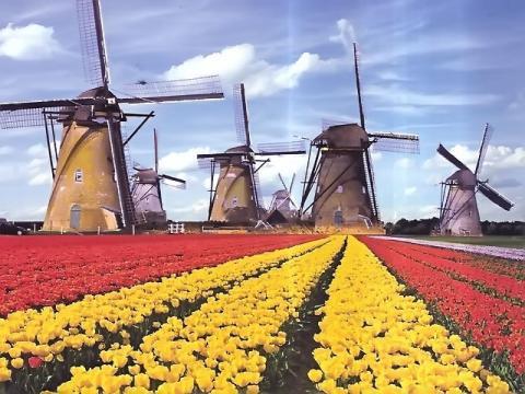 наменитый символ Нидерландов - тюльпаны